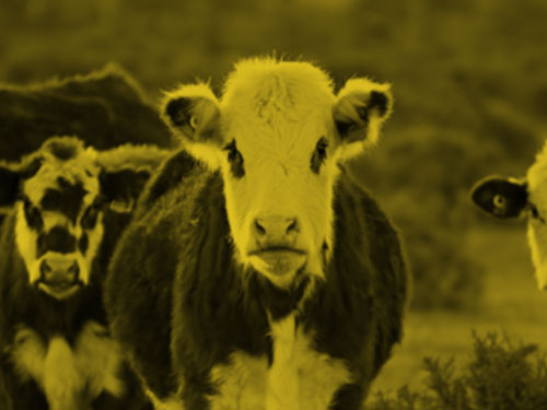 cattle category