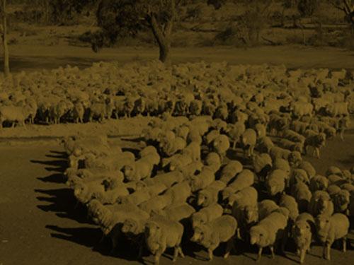 sheep category